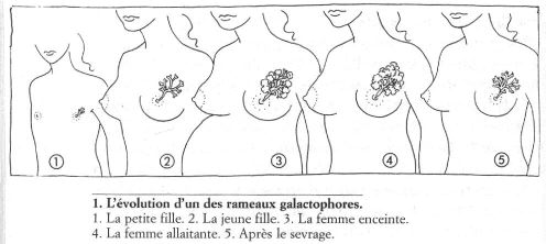 evolution poitrine femme enceinte